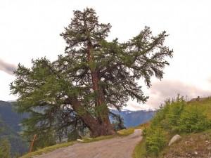 Baum des Jahres 2012: Die europäische Lärche